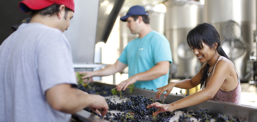 Winery Grape Sorting