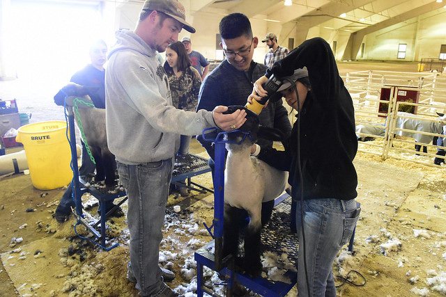 Student working to sheer sheep