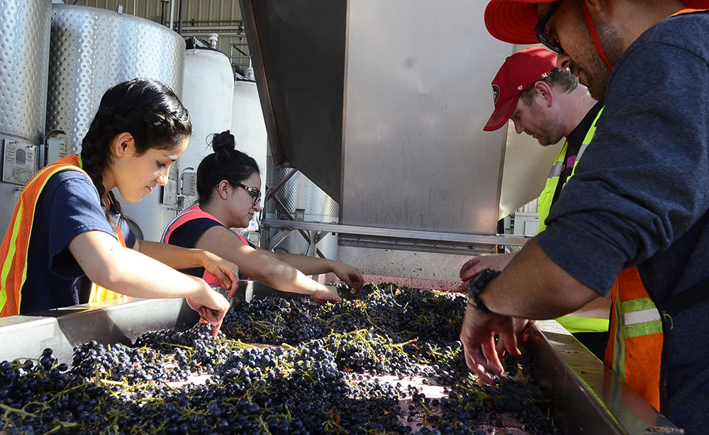 Ruby Red grape processing